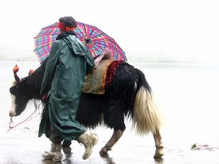 Rainsoaked_yak_and_handler